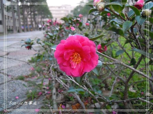 20141230062茶花.jpg