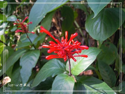 20141231017紅樓花.jpg