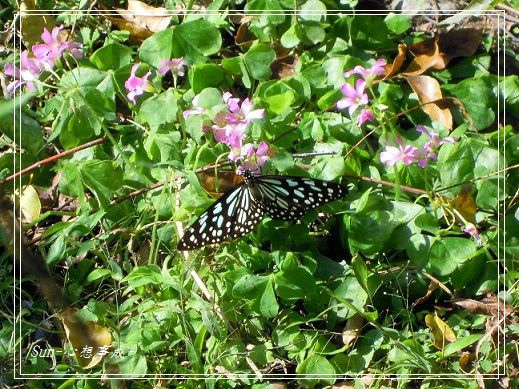 20141231024琉球青斑蝶.jpg