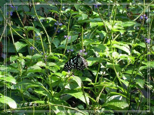 20141231047琉球青斑蝶.jpg