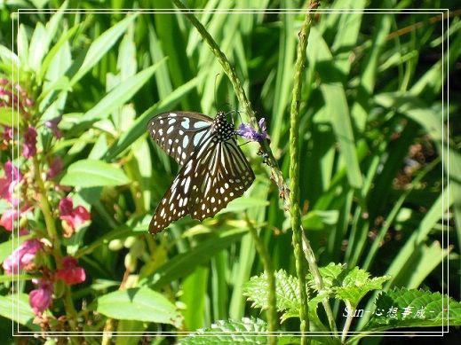 20141231050琉球青斑蝶.jpg