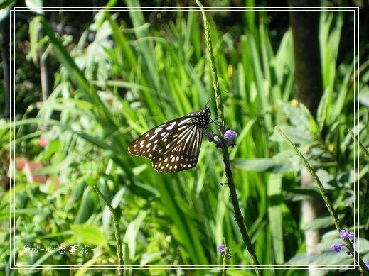 20141231056琉球青斑蝶.jpg