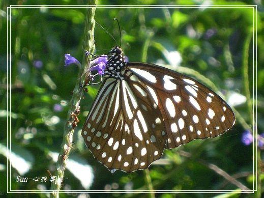 20141231067琉球青斑蝶.jpg