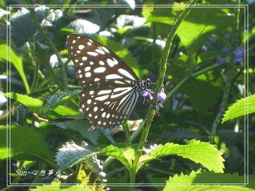 20141231075琉球青斑蝶.jpg