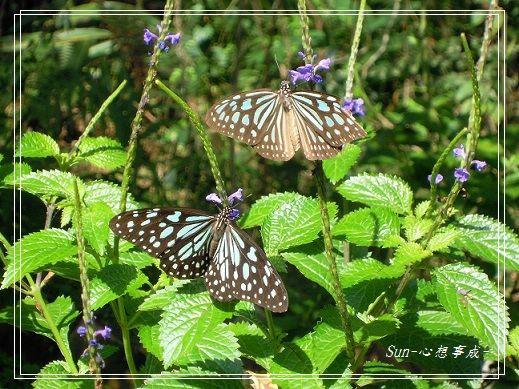 20141231088琉球青斑蝶.jpg