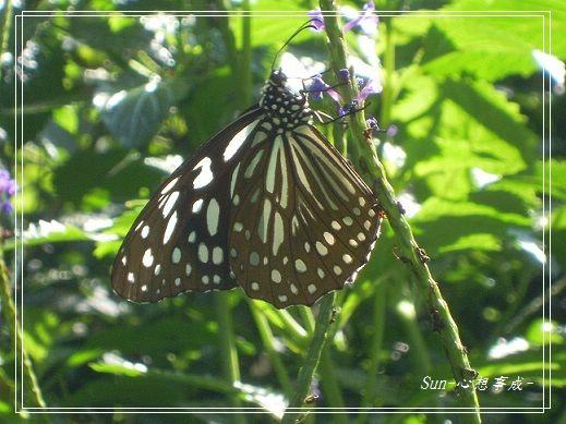 20141231074琉球青斑蝶.jpg