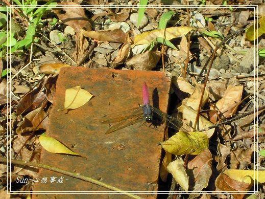 20141231110霜白蜻蜓(雄蟲前藍後紅).jpg