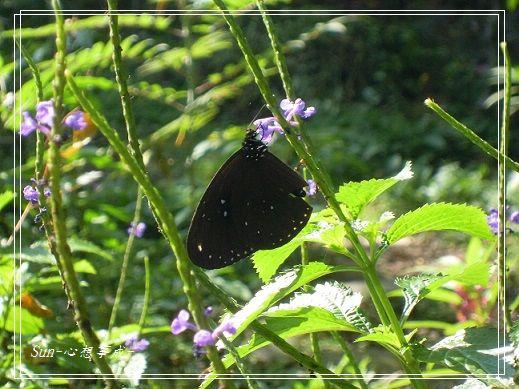 20141231116斯氏紫斑蝶.jpg