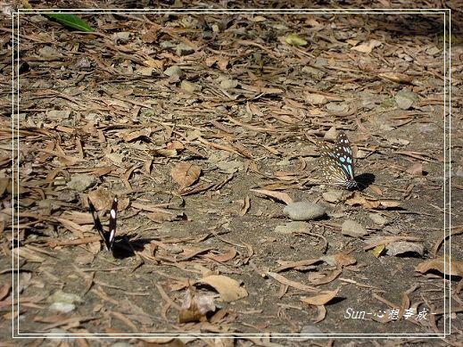 20141231129雌紅紫蛺蝶(雄)&琉球青斑蝶.jpg