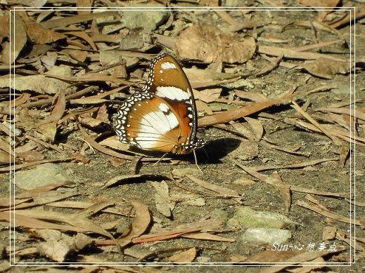 20141231127雌紅紫蛺蝶(雄).jpg