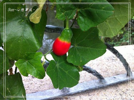 20151107008紅瓜.jpg