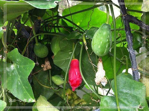 20151107009紅瓜.jpg