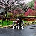 20120207 武陵農場賞櫻花 【宜蘭民宿】Sunday Home