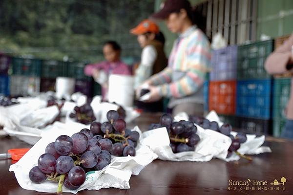 20101124 南投信義-巨峰葡萄 【宜蘭民宿】Sunday Home