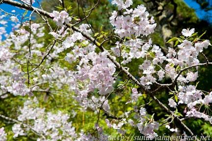 舊金山櫻花