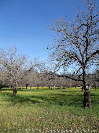 北加州納帕谷芥末花季