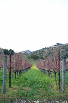 納帕谷葡萄園裡的芥末花