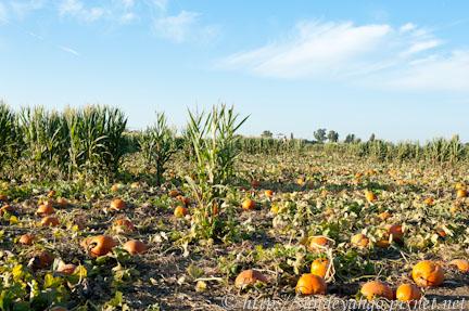北加州南瓜農場