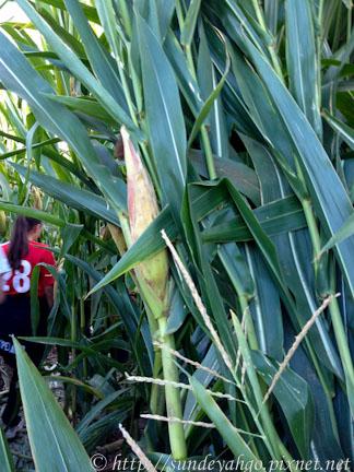 IMG_0664金氏世界紀錄最大玉米田迷宮