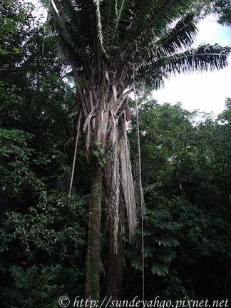 Cohune Ridge棕梠樹