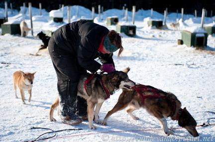 阿拉斯加雪橇狗