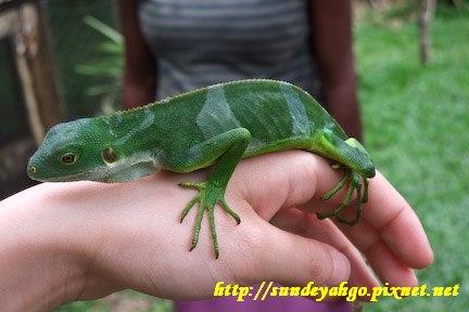 伊瓜蘇蜥蜴