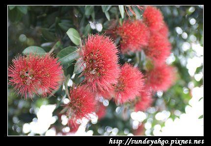 紐西蘭聖誕樹