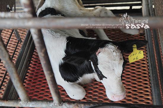 38出生五天的小牛
