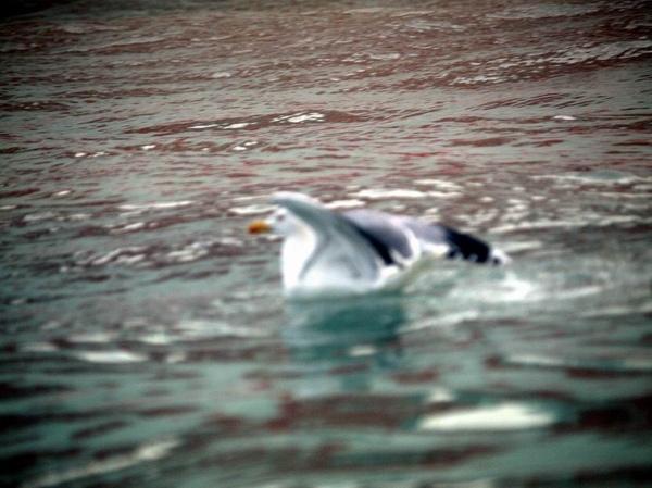 威尼斯內海的海鳥