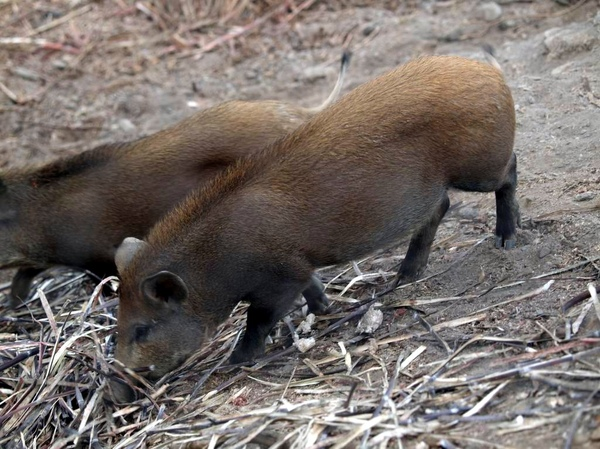 山豬不奇怪~怪的是它住在魚鰛裡
