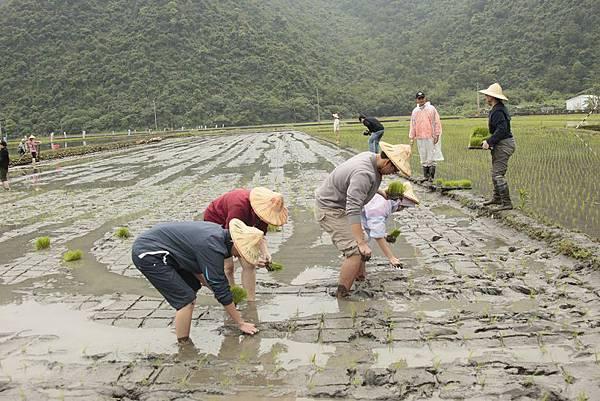 茶的田手插秧體驗