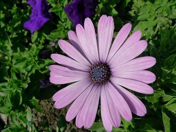 紫藍心菊 , 美輪菊 , 藍心菊 , 紫輪菊.JPG