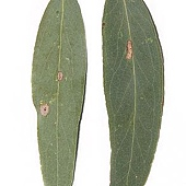 Eucalyptus_radiata_(Narrow-leaved_peppermint)