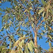 Eucalyptus_dives