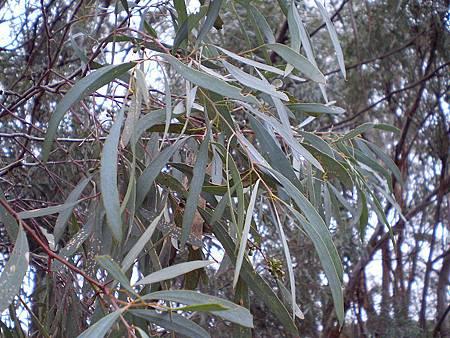 Eucalyptus_polybractea_leaf