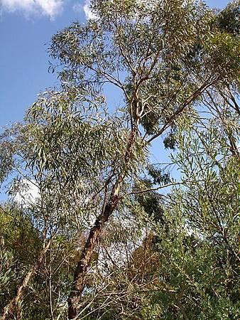 Eucalyptus_polybractea