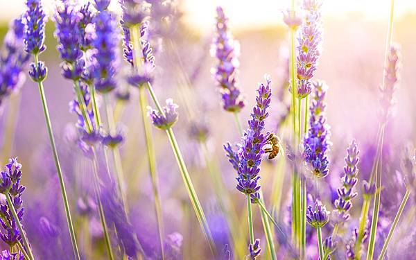 Best-Purple-Lavender-Flowers-Macro-Wallpaper-Background