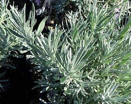 Lavandula-Angustifolia-Leaves