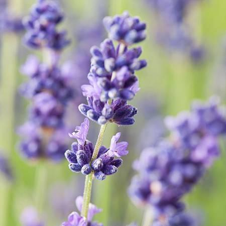 Lavandula-angustifolia-flower