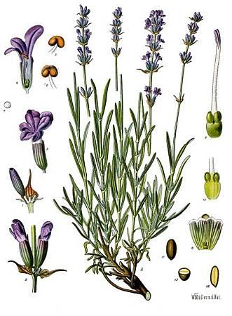 Lavandula_angustifolia_Köhler