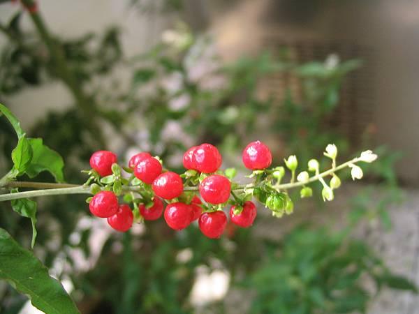 珍珠一串紅