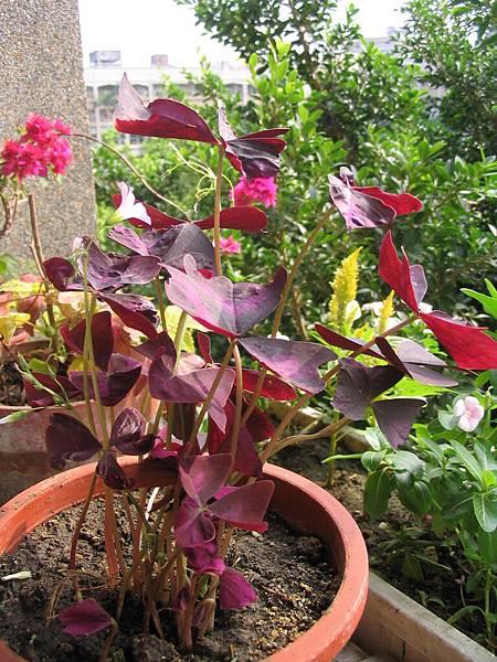 紫色酢漿草