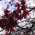路邊盛開的山櫻花