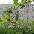 頭城海邊的絲瓜