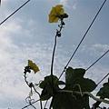 頭城海邊的絲瓜花