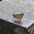 不知名的蝴蝶