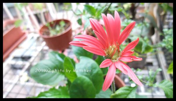 家裡種的小菊花開了