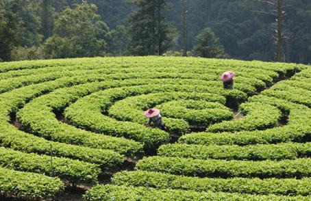 世界知名紅茶產地有哪些?喝茶前先了解世界紅茶產地吧!