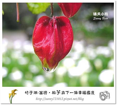31.晴天小熊-陽明山竹子湖-苗榜-相芋在下一個幸福國度