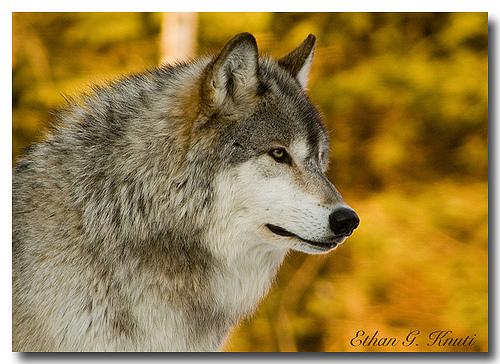 wolf2.bmp